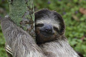 Three Toe Sloth