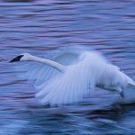 Tundra Swan MN