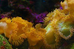 Yellow Anemone Video