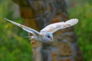 Barn Owl Slo Mo
