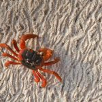 Christmas Island Crab