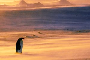 Emperor Penguin Snowstorm