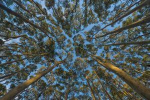 Eucalyptus Canopy