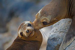 Floreana Island Sea Lion
