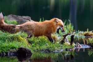 Fox Mom Kit