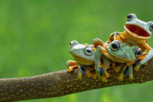 Frog Sibs