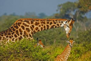 Giraffe Dad