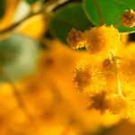 Golden Wattle Sprig