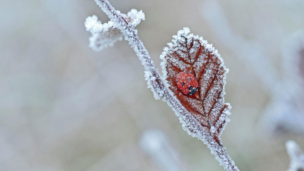 Lady Bug Frost