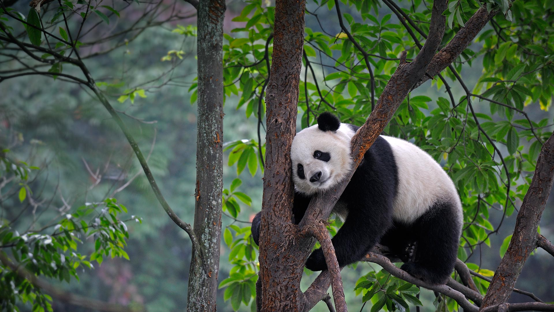 Lazy Panda Video