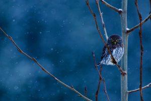 MT Pygmy Owl