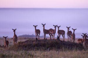 Musiara Marsh Impalas
