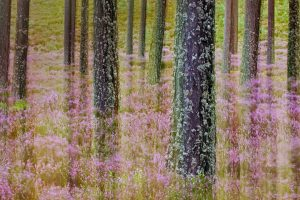 Pineand Heather