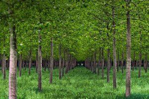 Po Valley Poplars