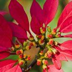 Poinsettia Buds
