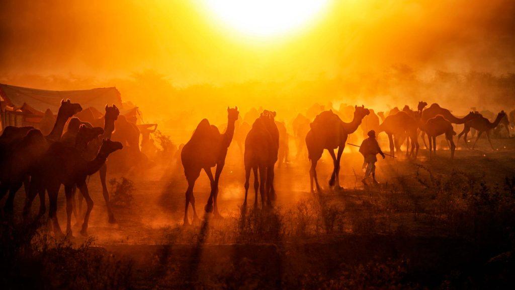 Pushkar Camels