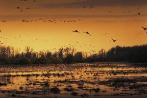 Sacramento Wildlife Refuge Geese