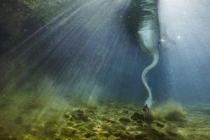 Underwater Swan