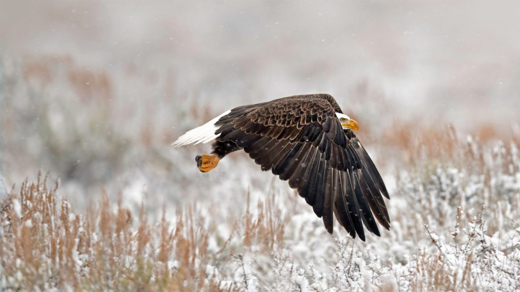 WY Bald Eagle