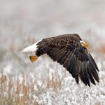 WY Bald Eagle