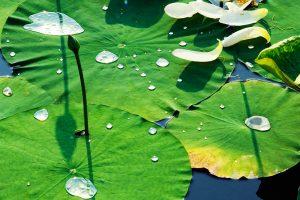 Waterlilies Yuanmingyuan