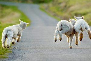 Young Lambs Frolicking
