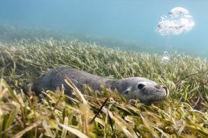 Australian Sea Lion Carnac