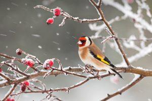 Goldfinch Snow