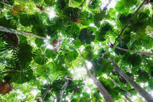 Licuala Palm Canopy