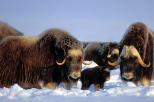 North Slope Muskox