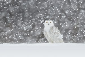 Snowy Owl Video