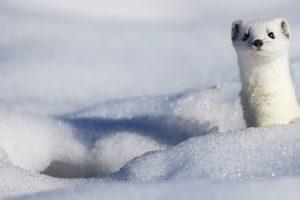 Snowy Stoat