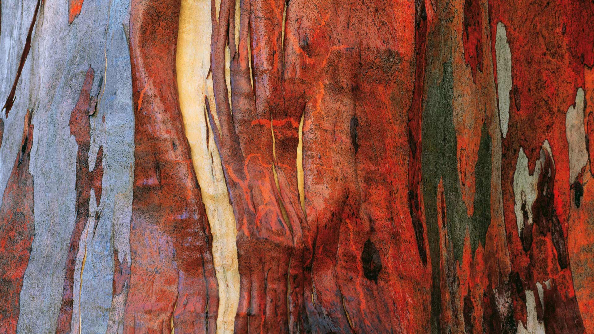 Alpine Eucalypt Bark