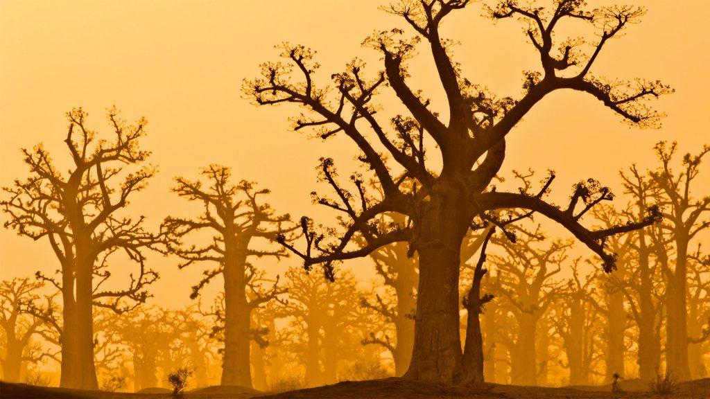 Baobab Grove