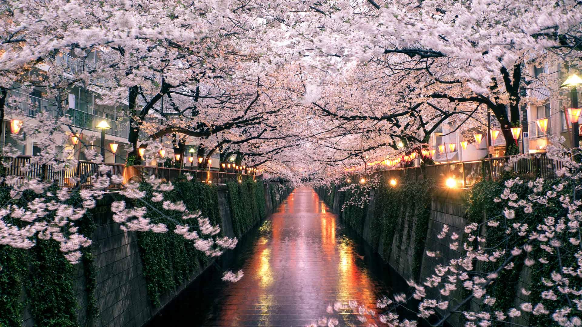 Sakura Fes