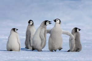Antarctic Penguin Chicks