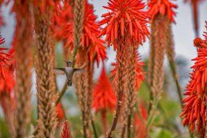 Blooming Aloe