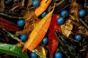 Blue Quandong Currumbin