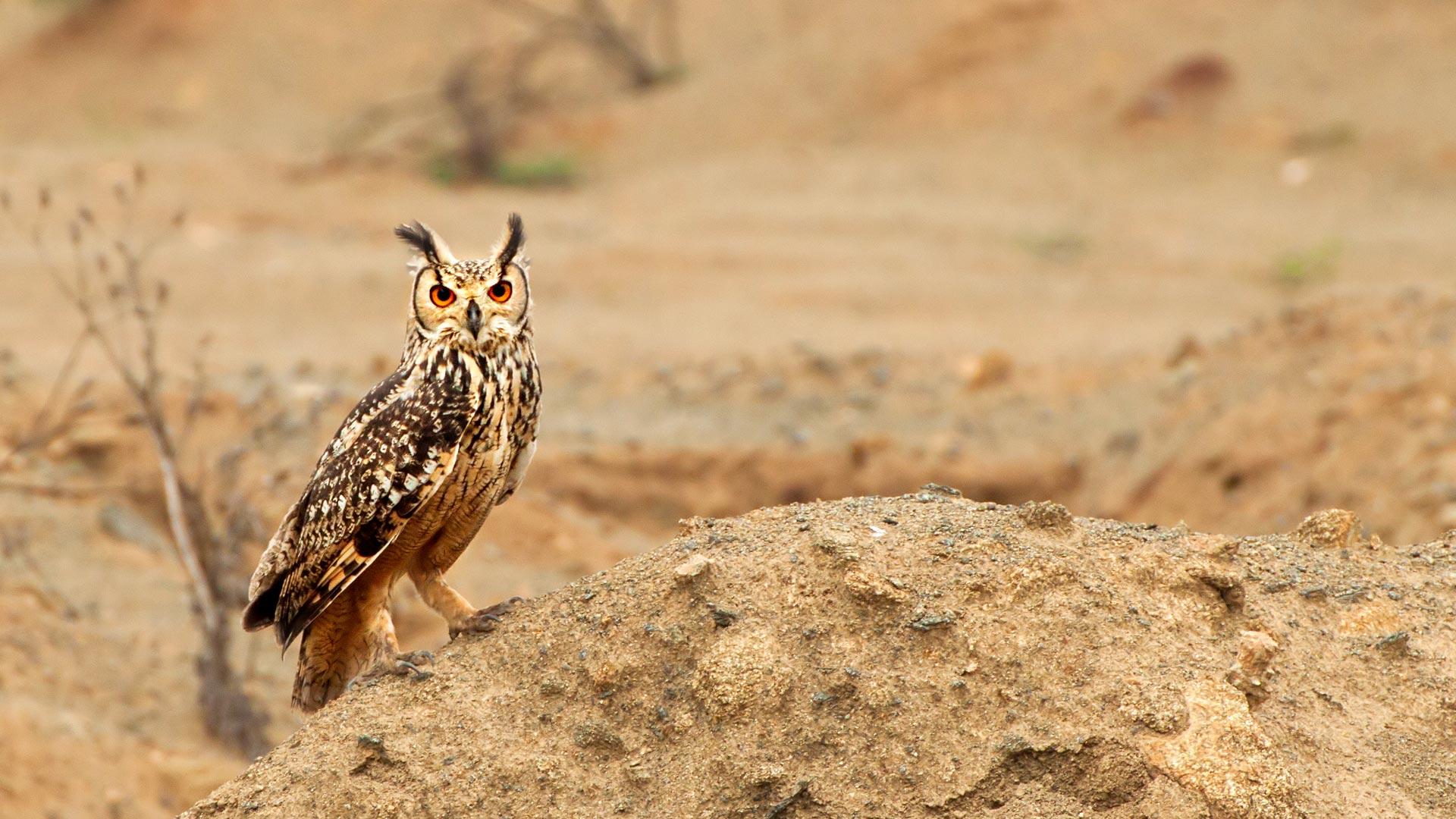 Eagle Owl Stare
