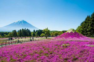 Fuji Sakura