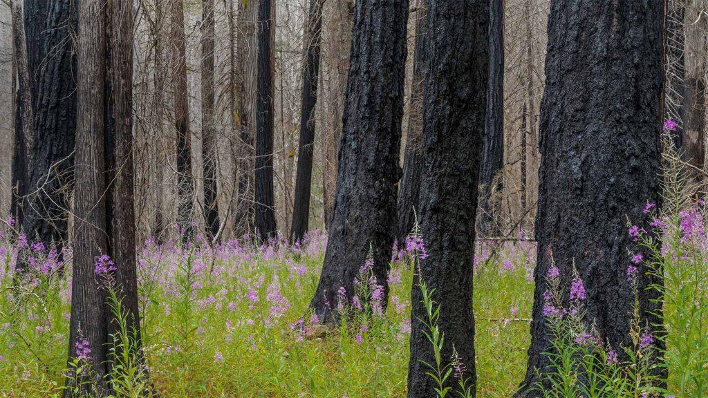 NC Fireweed