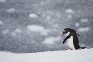 Penguin Walking Alone