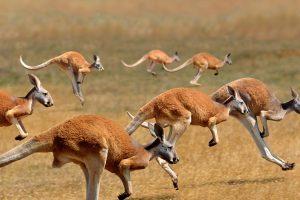 Red Kangaroos Jumping
