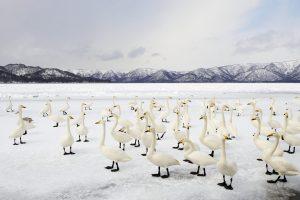 Swan Winter Solstice