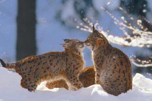 Bayerischer Lynx