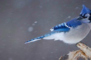 Blue Jay Snow