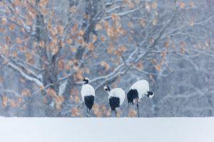Cranes Walking