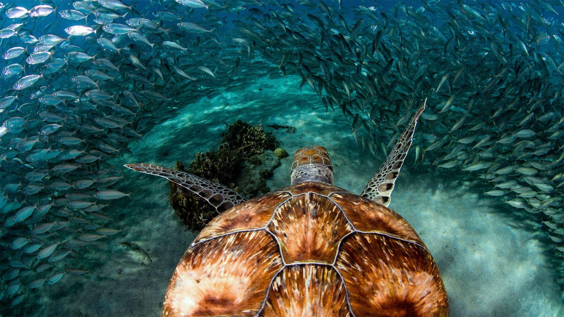Curacao Turtle