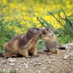 Motherandbaby Marmota