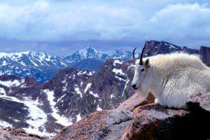 Mtn Goat Colorado